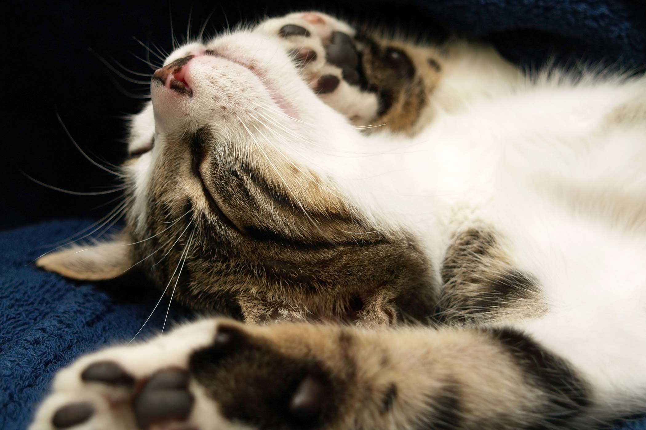 Fainting in Cats