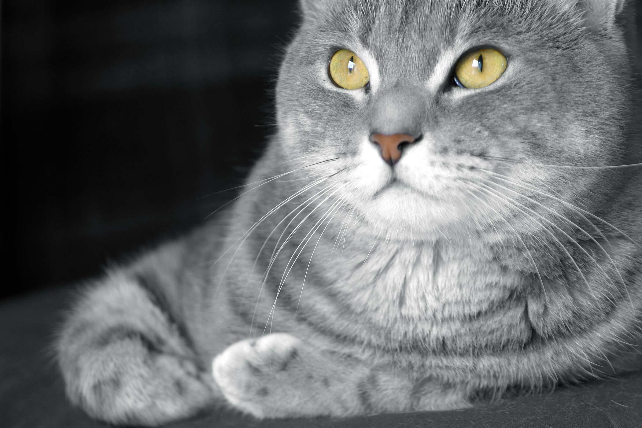 False Pregnancy in Cats