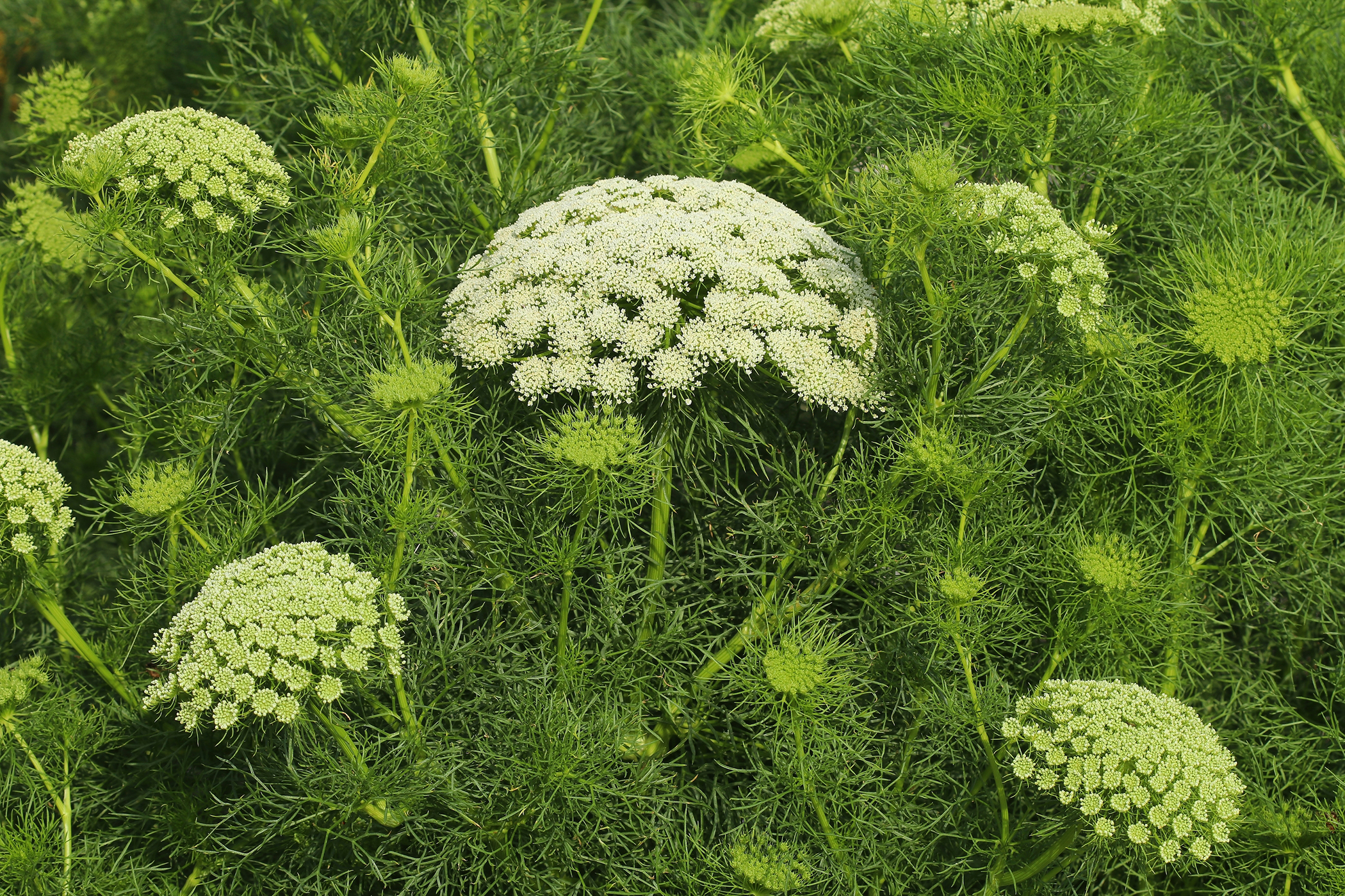 False Queen Anne's Lace Poisoning in Cats