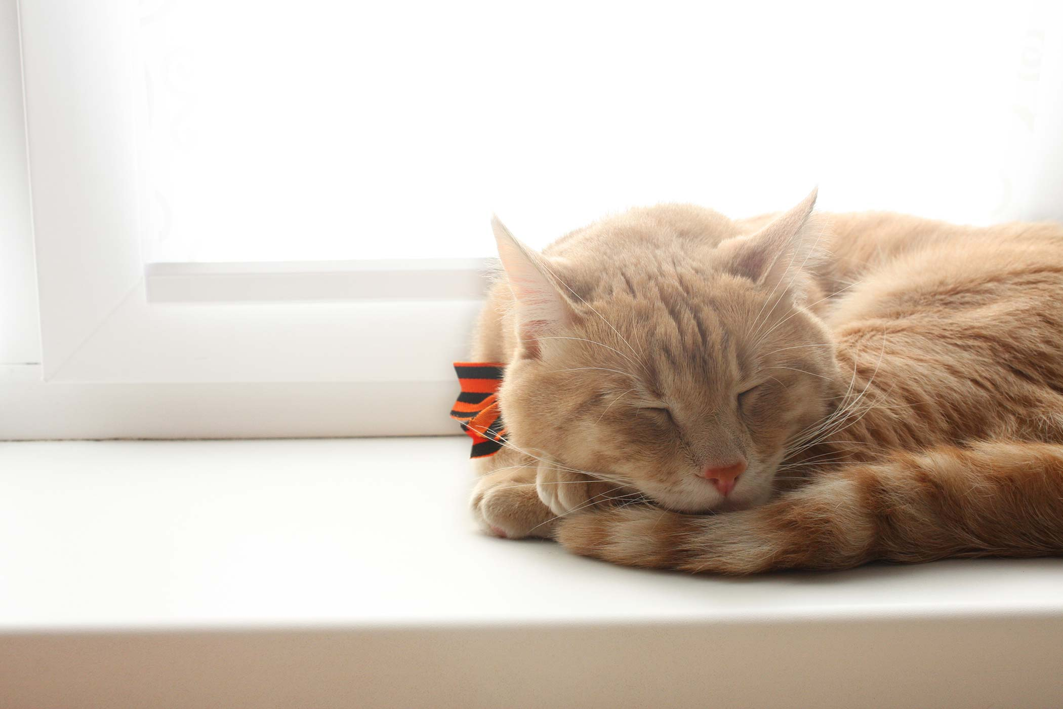Fatty Tissue Inflammation in Cats
