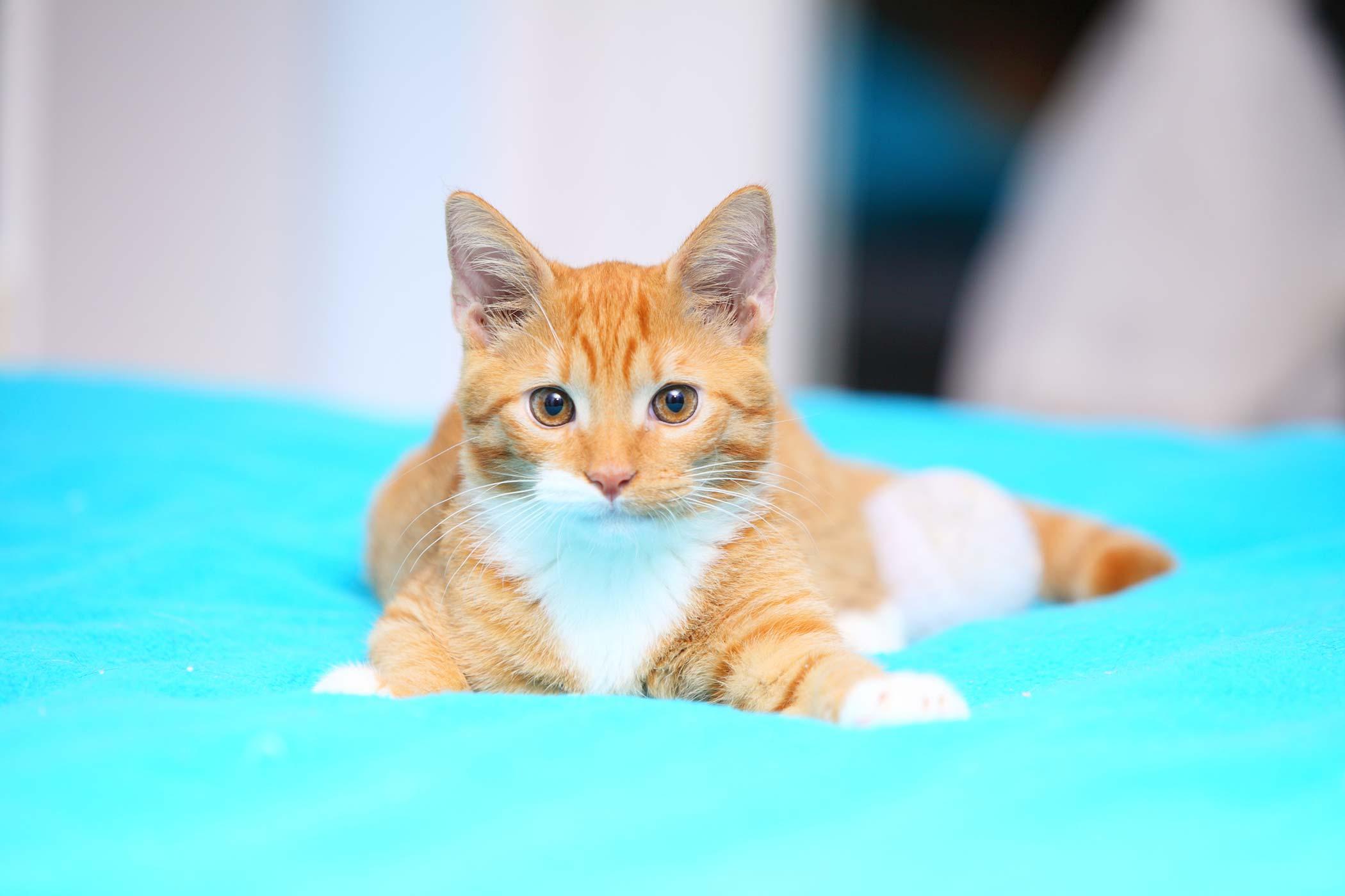 Feline Calicivirus Infection in Cats