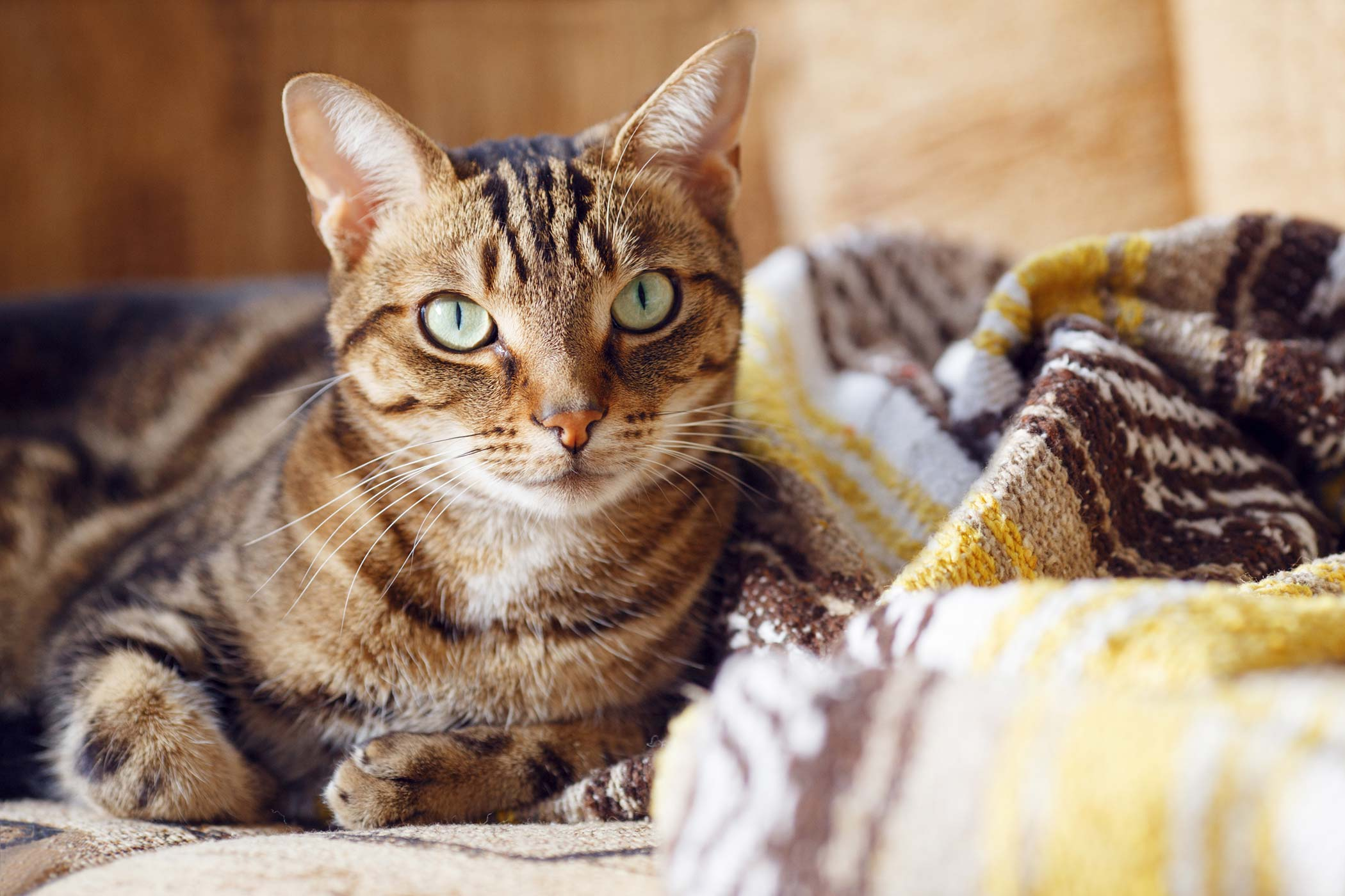 Feline Herpesvirus Infection in Cats in Cats - Symptoms, Causes, Diagnosis, Treatment, Recovery, Management, Cost