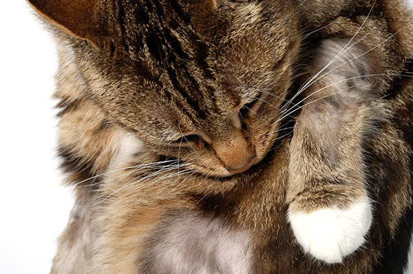 Feline Miliary Dermatitis in Cats