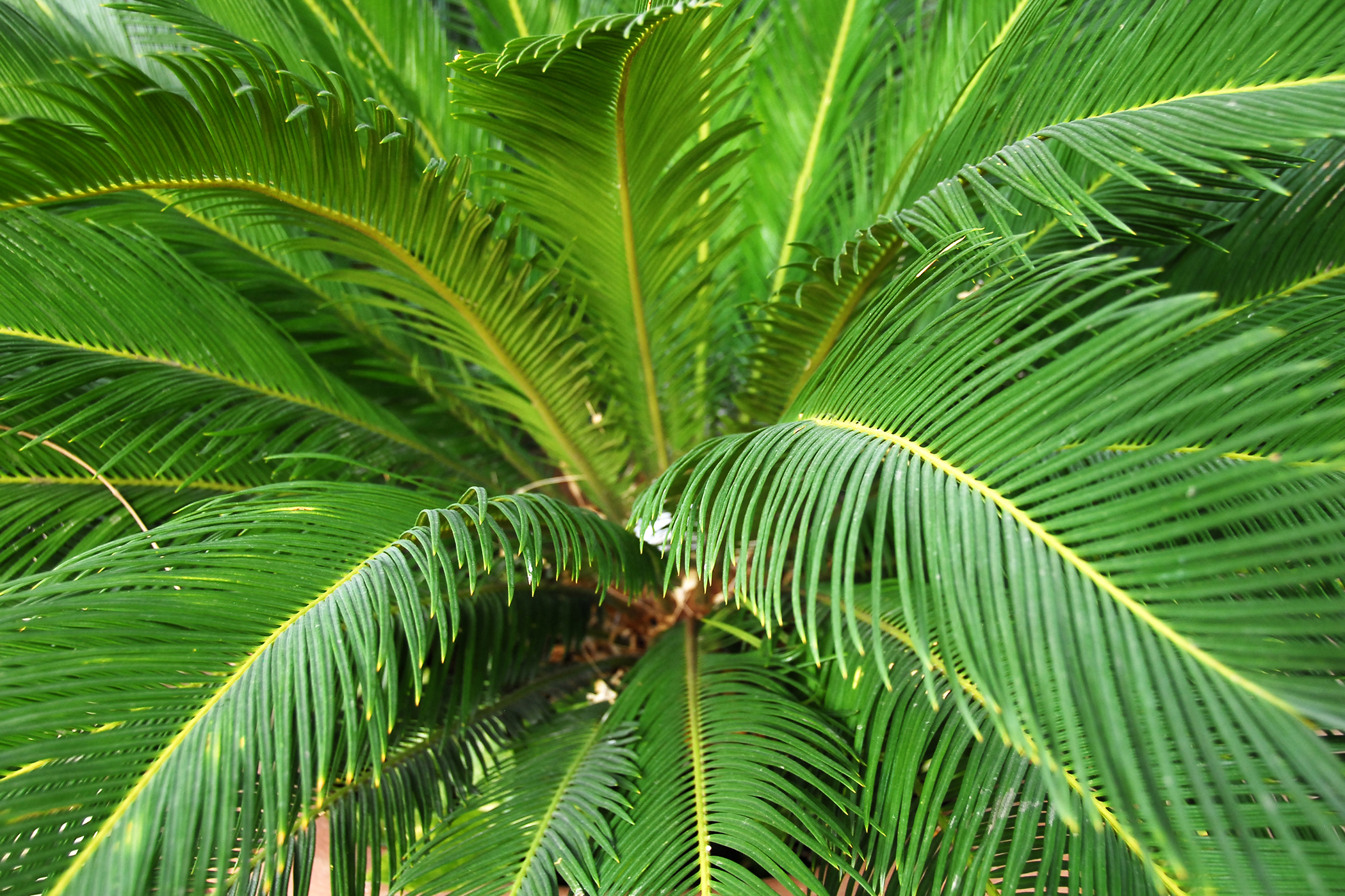 Fern Palm Poisoning in Cats