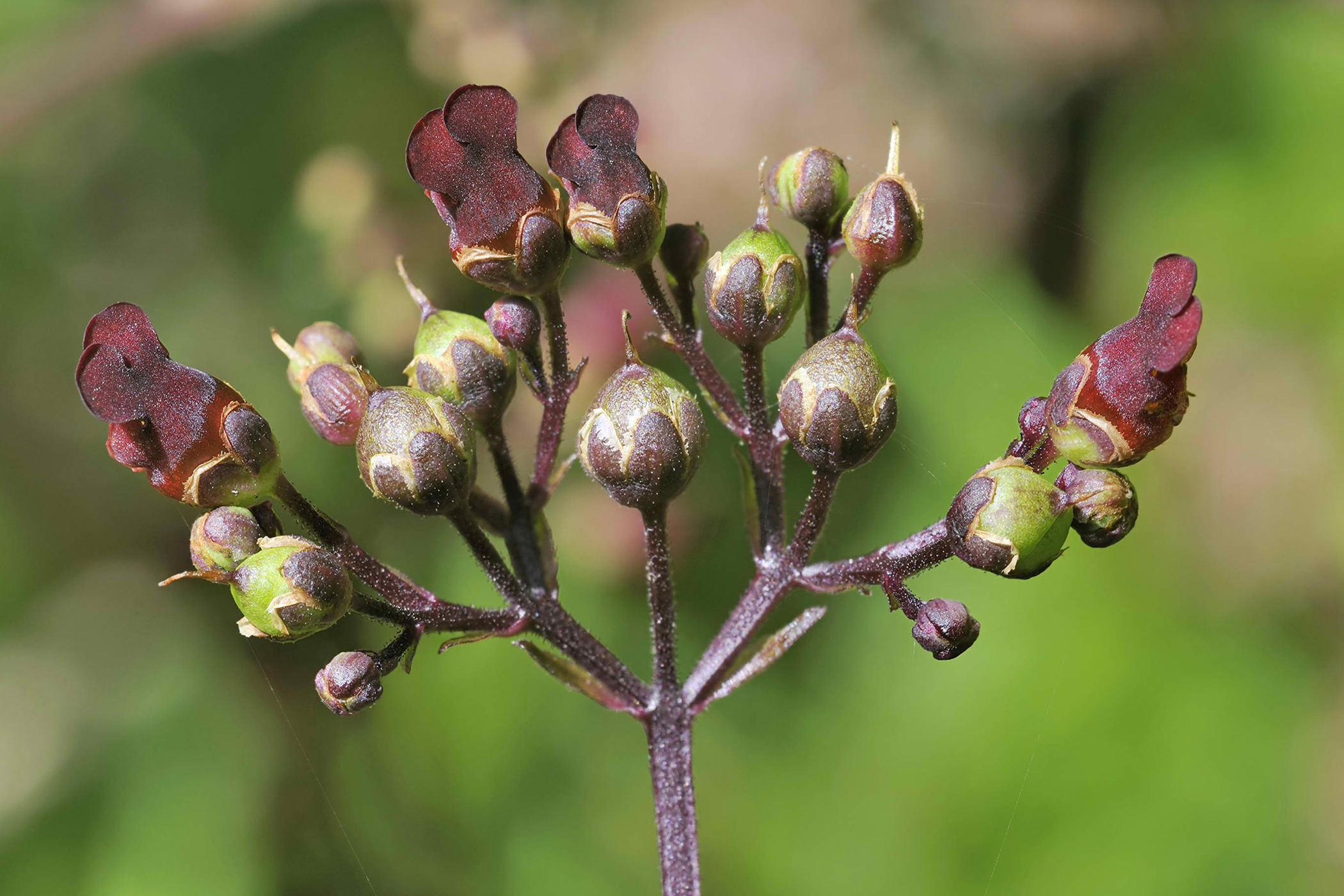 Figwort Poisoning in Cats