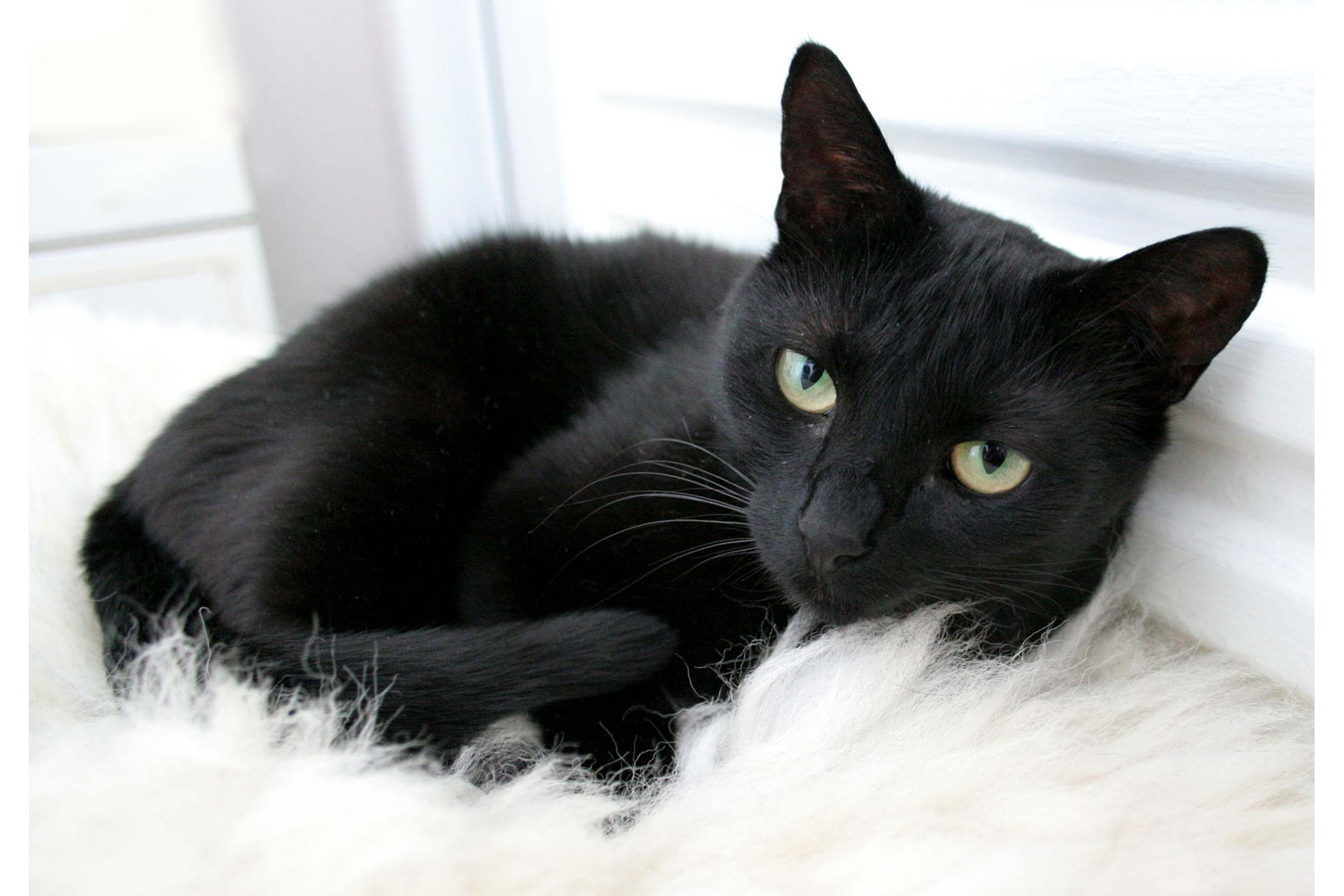 FIV or Feline AIDS in Cats - Symptoms, Causes, Diagnosis ...