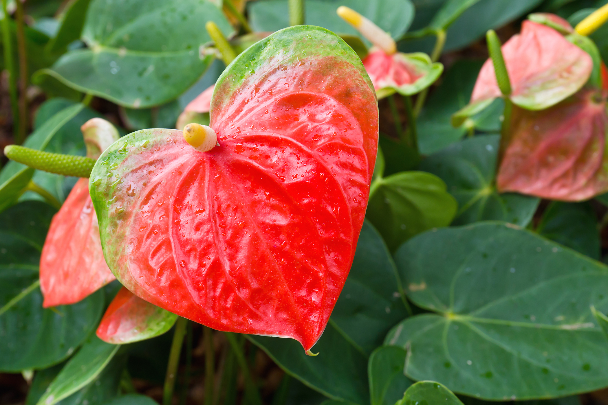 Flamingo Flower Poisoning in Cats