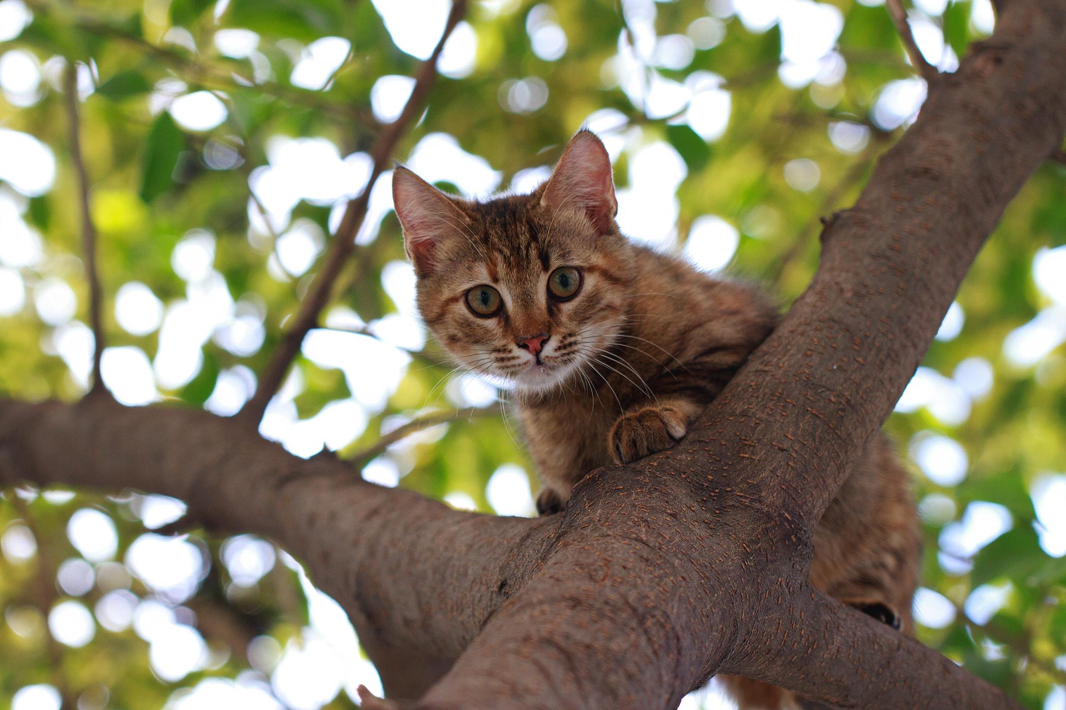 Flea Saliva Allergy in Cats