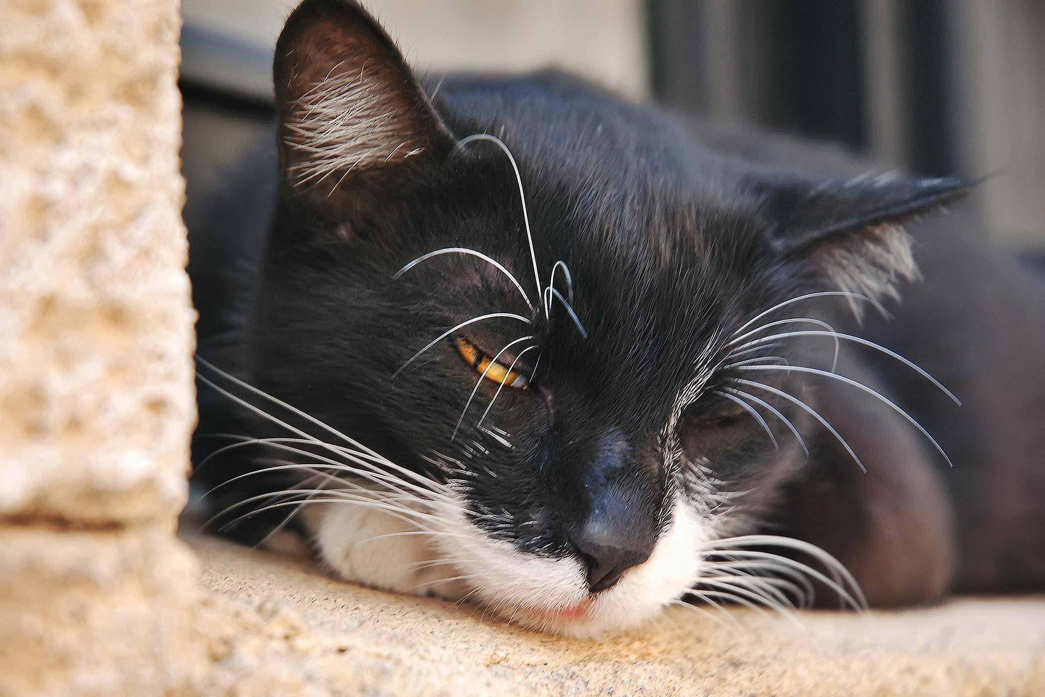 Fluid In The Abdomen in Cats