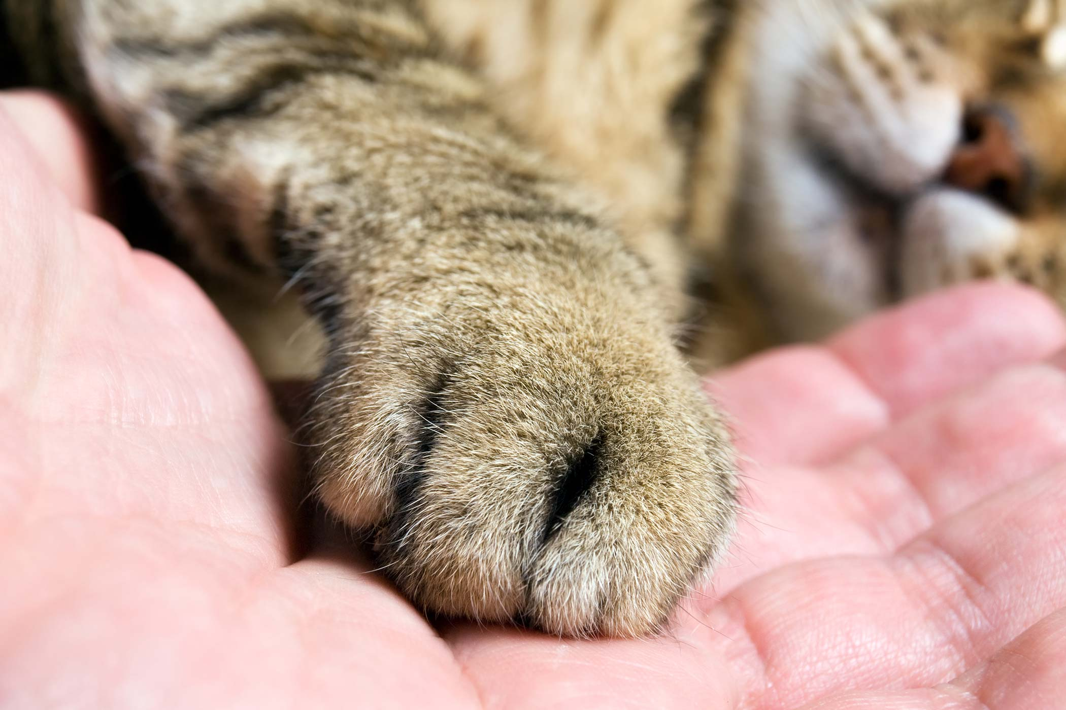 Foot or Toe Cancer in Cats