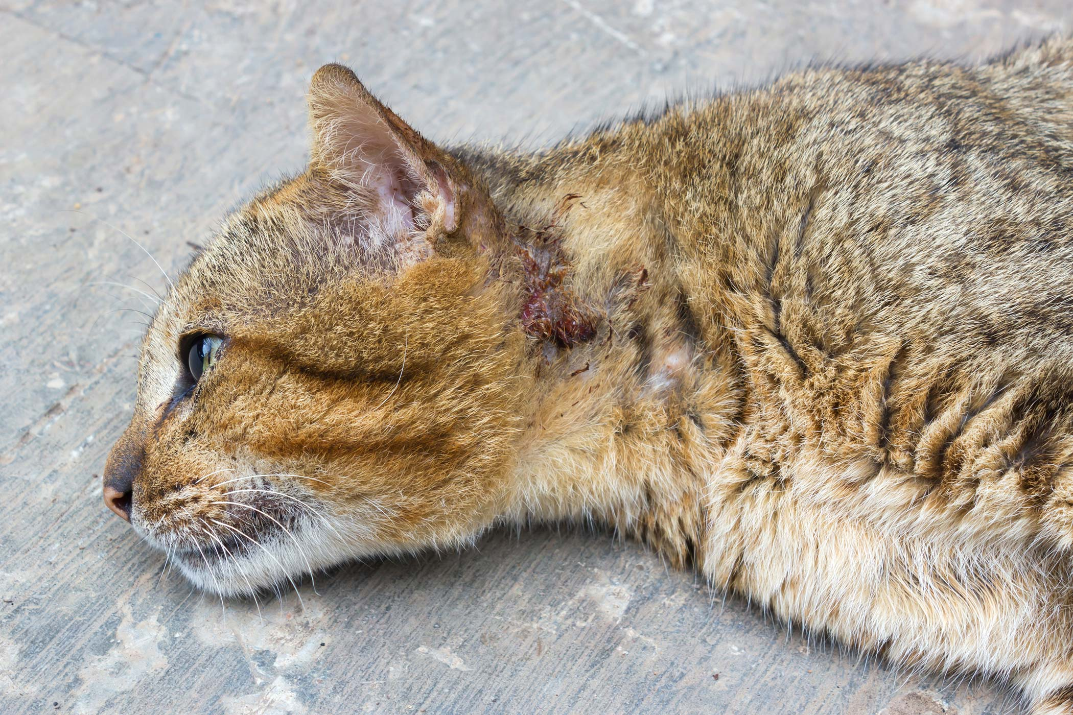 Front Leg Injury in Cats