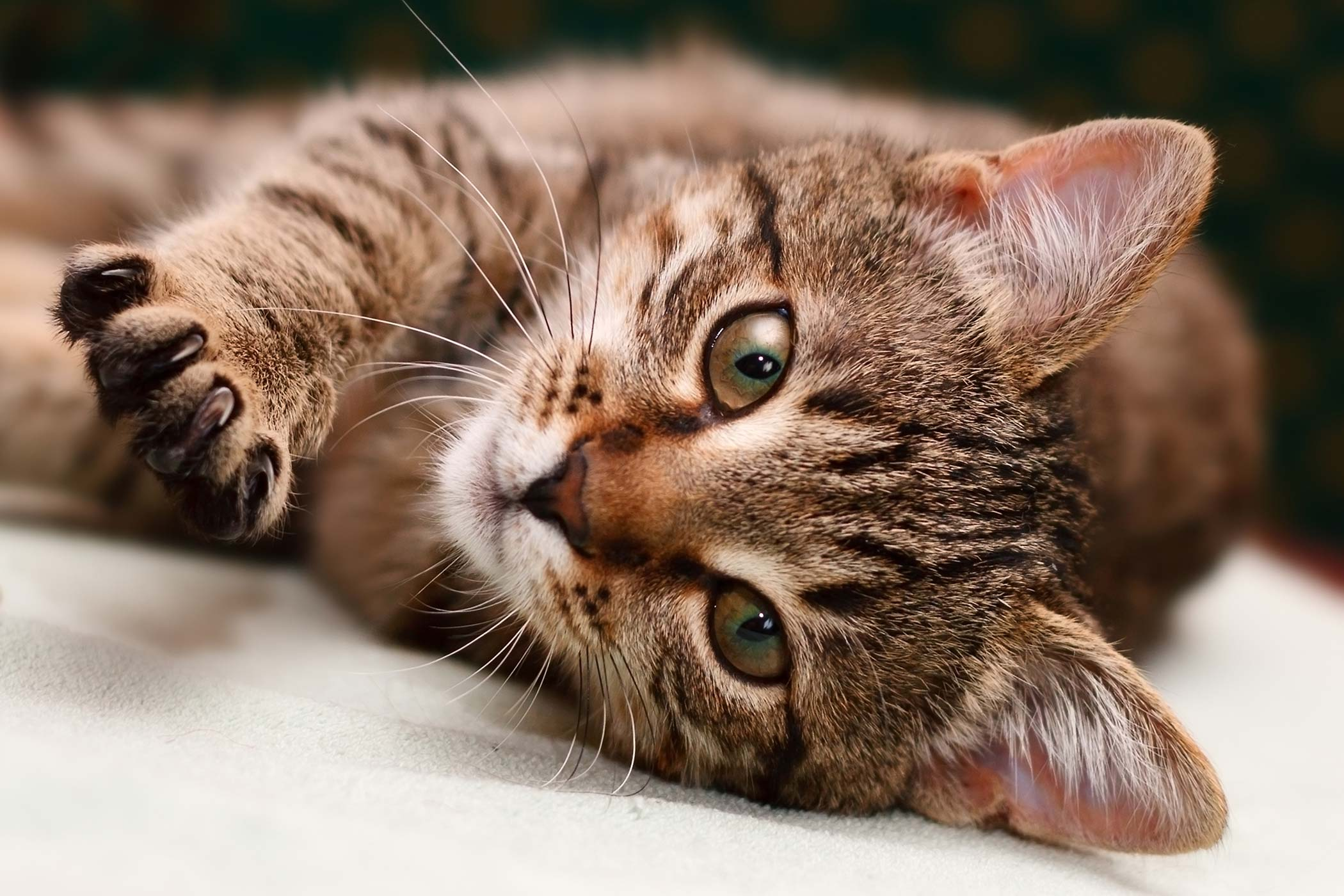 Fungal Infection Of The Lungs in Cats