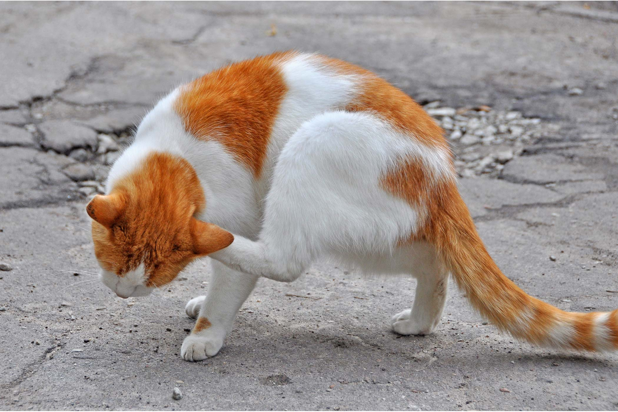 Fungal Infection Of The Skin in Cats