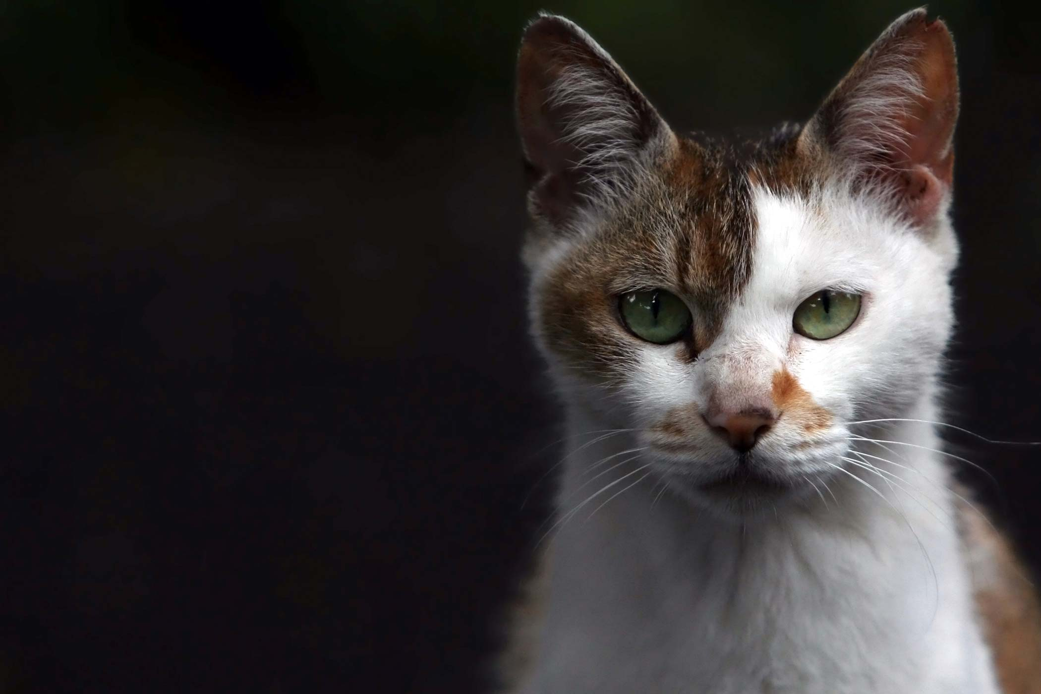 Fungal Infection in Cats