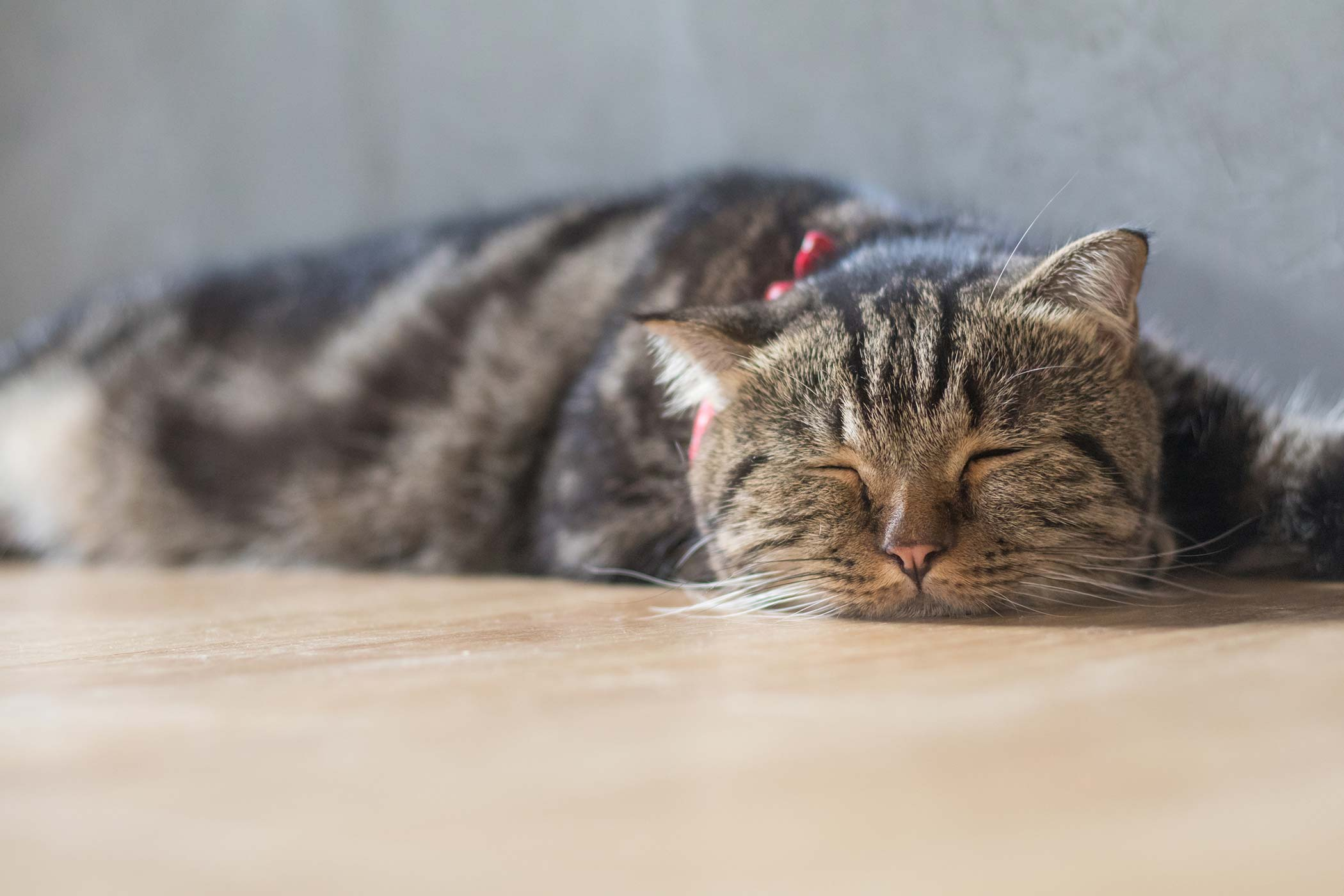 Fungal Toxicosis in Cats