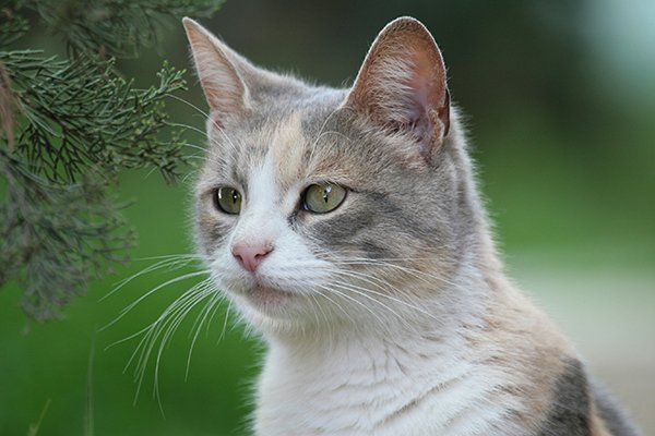 Fungal Yeast Infection in Cats