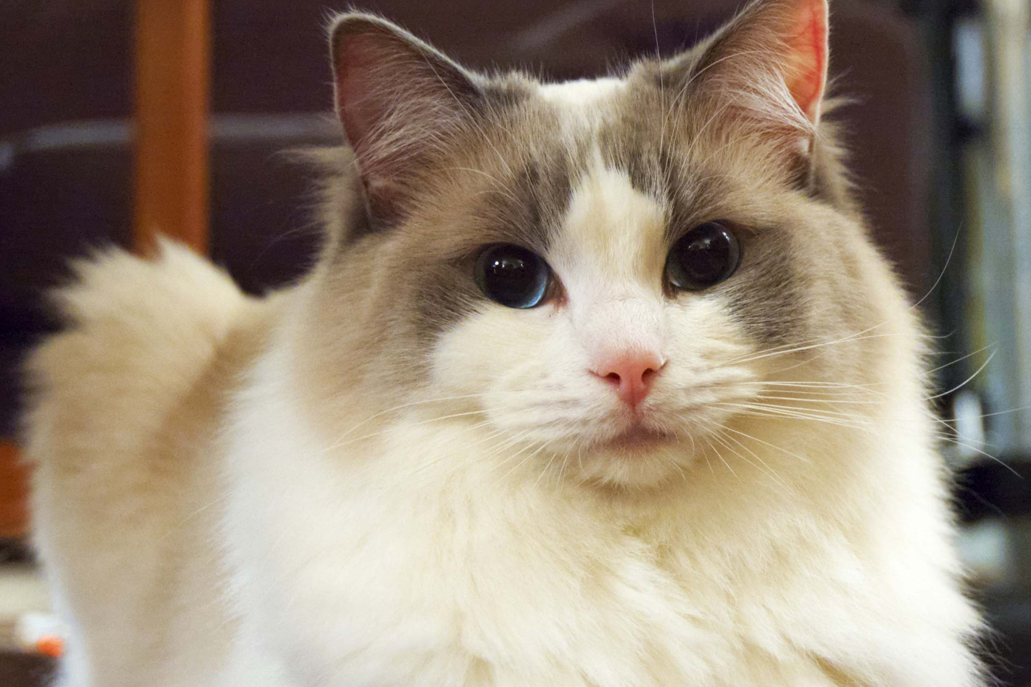 Gallbladder inflammation in cats symptoms