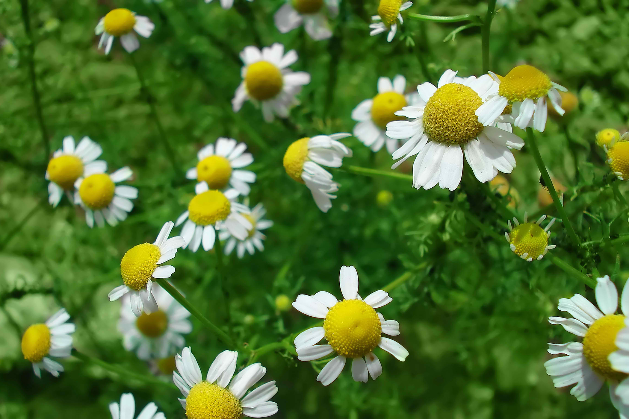 Garden Chamomile Poisoning in Cats