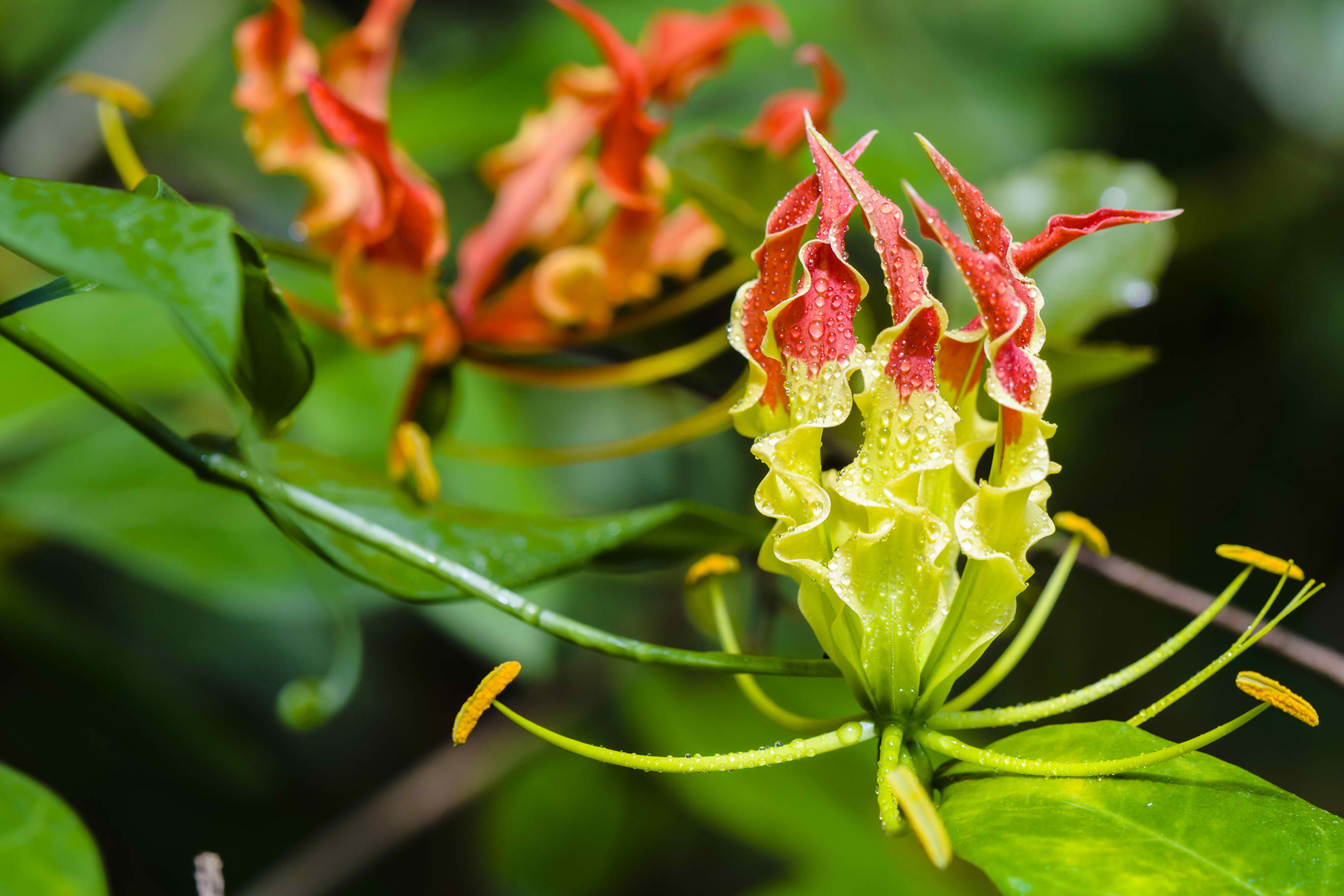 Gloriosa Lily Poisoning in Cats