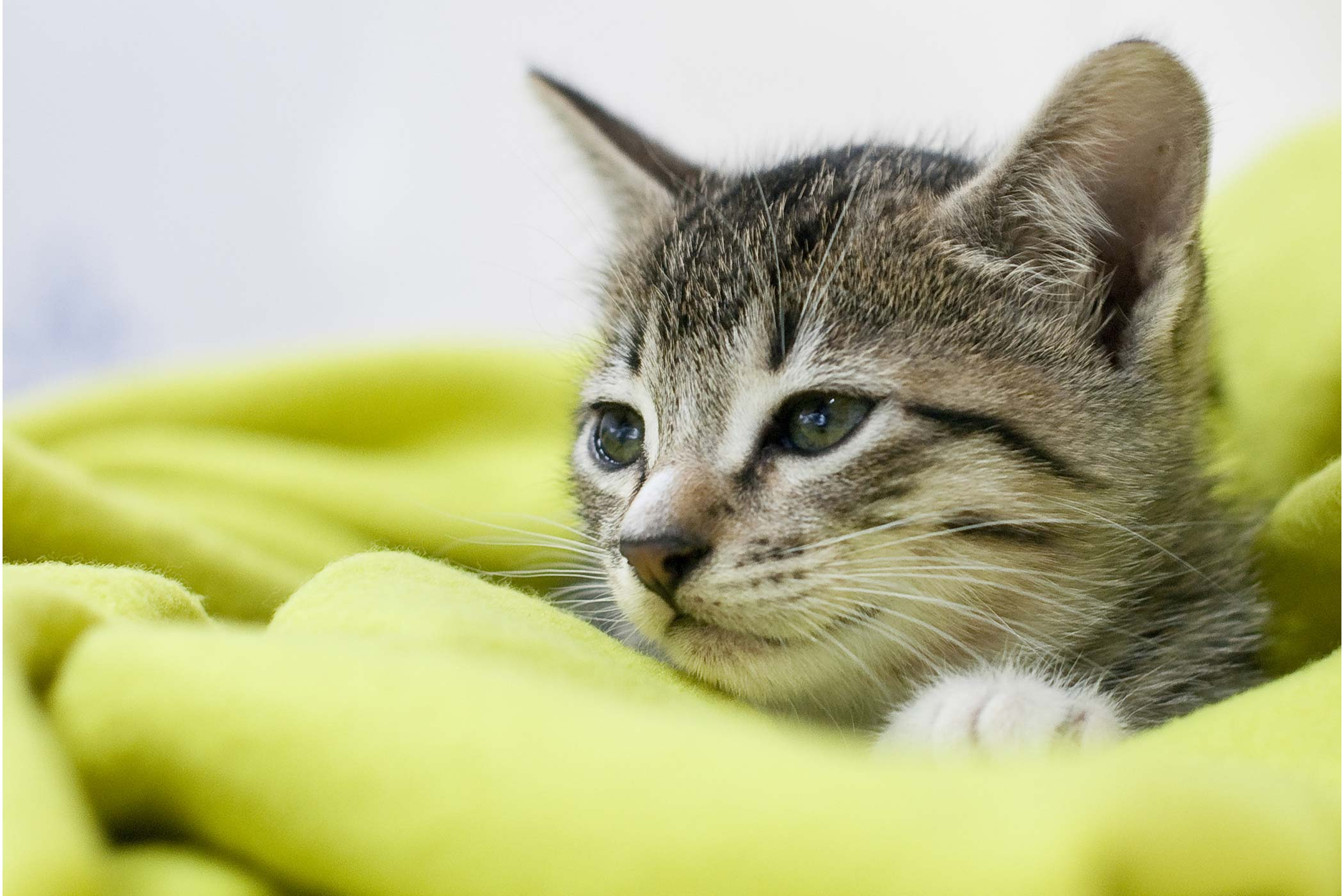 Glycogen Storage Disease in Cats
