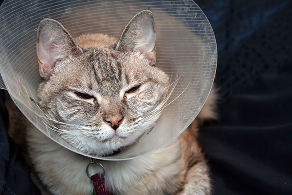 Granulomatous Dermatoses in Cats - Symptoms, Causes, Diagnosis, Treatment, Recovery, Management, Cost