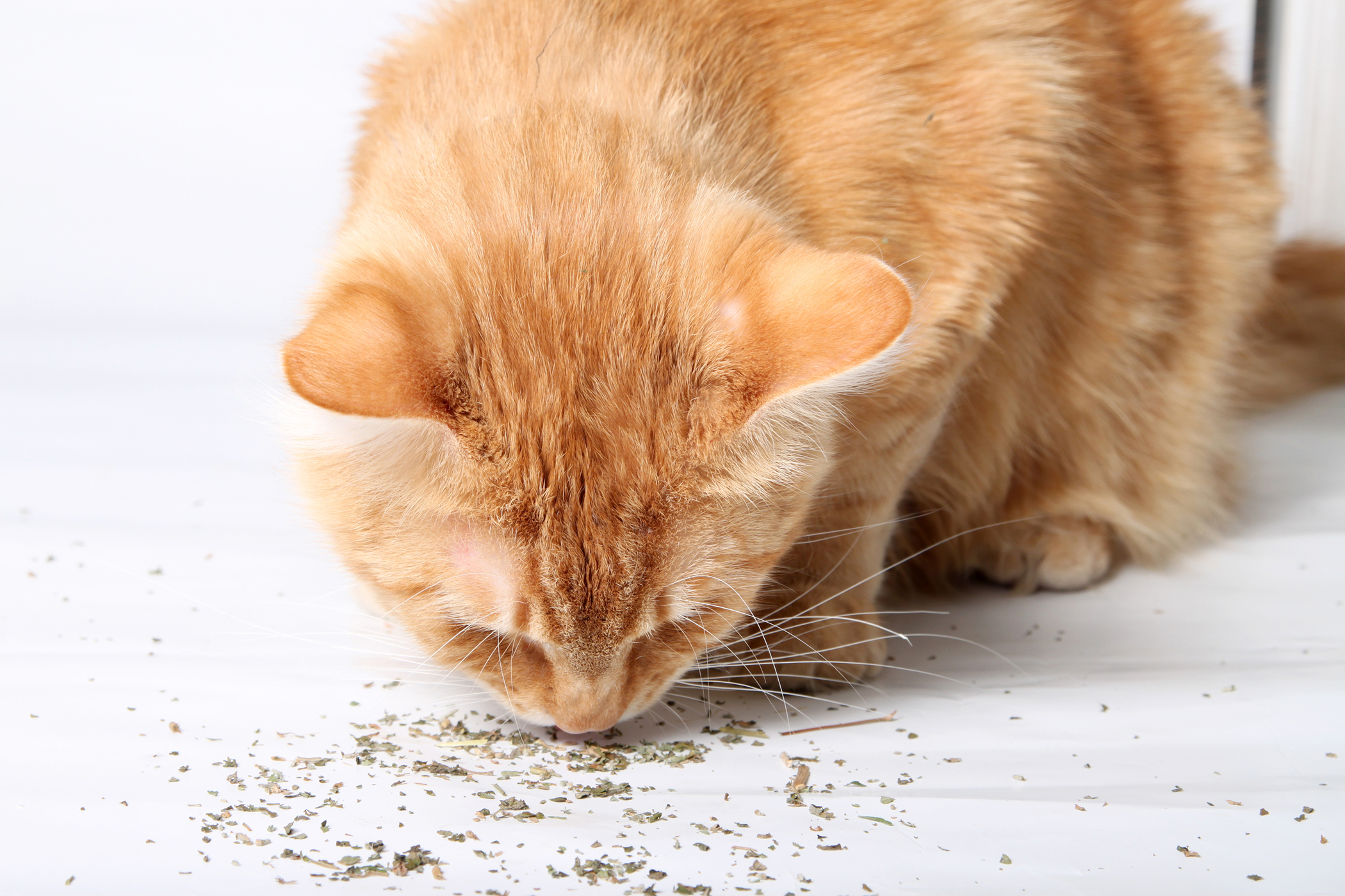 Greenies Allergy in Cats - Symptoms, Causes, Diagnosis, Treatment, Recovery, Management, Cost