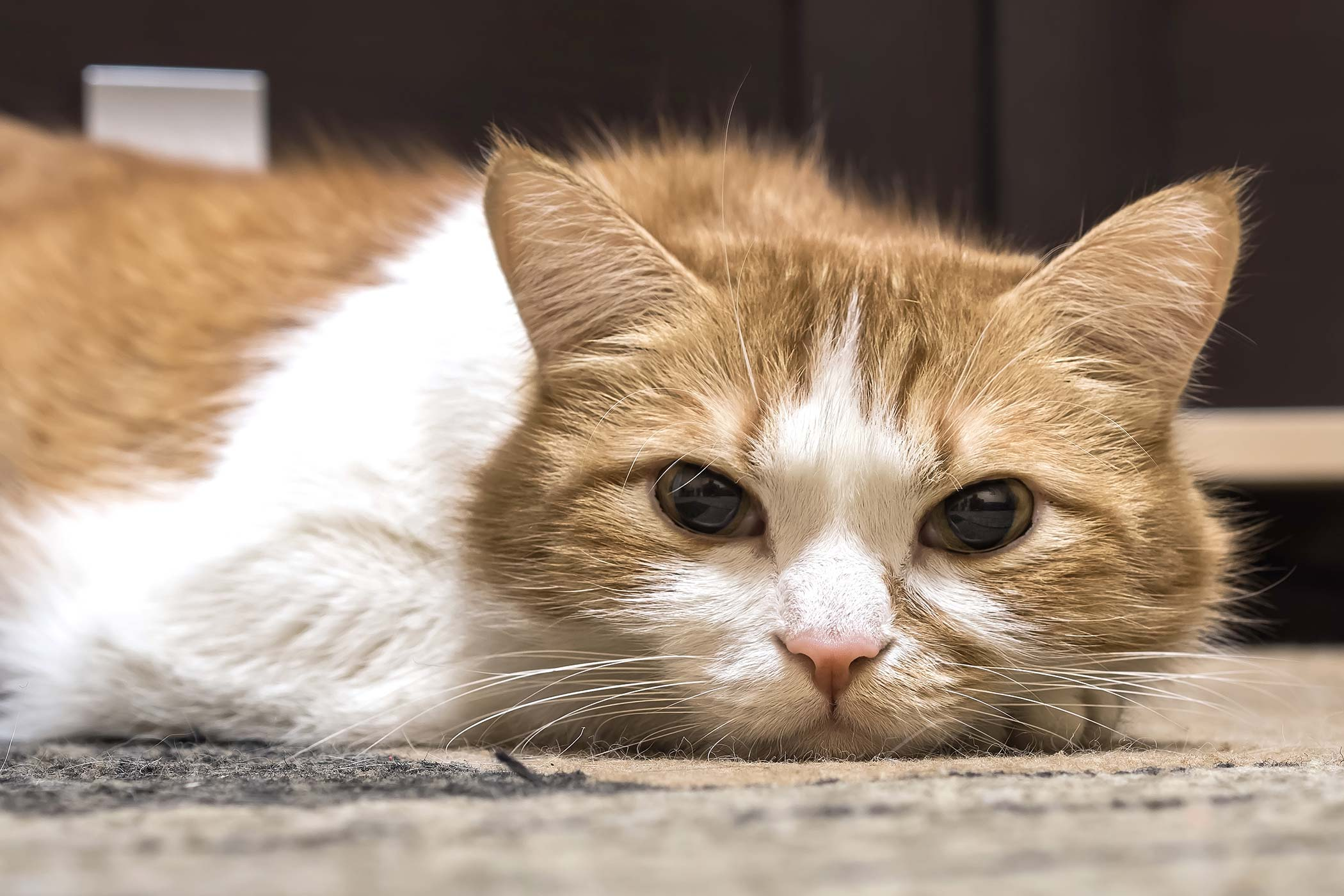 Heart Blood Clots in Cats