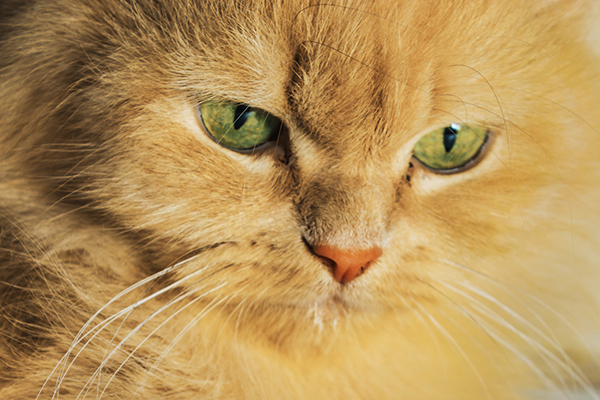 Heart and Lung Disease in Cats