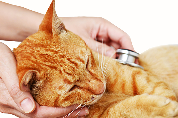 Heart Valve Defect in Cats
