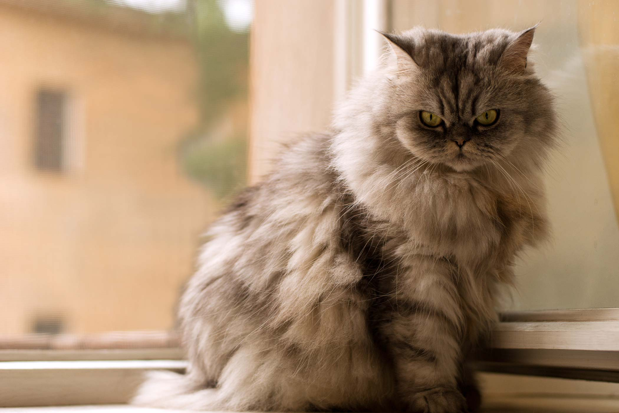 Heart Valve Narrowing in Cats