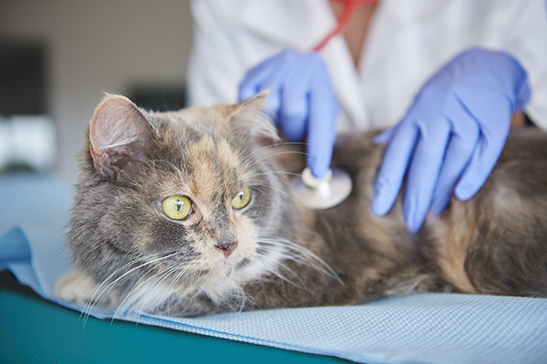 Hepatic Encephalopathy in Cats