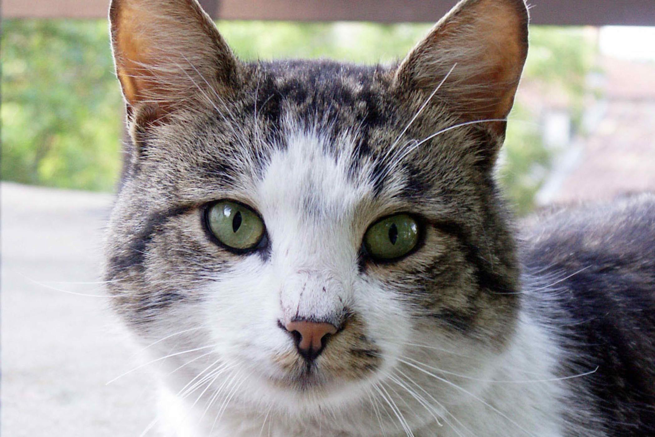 Hepatozoonosis in Cats