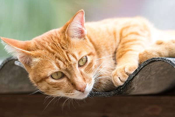 Hernia in Cats