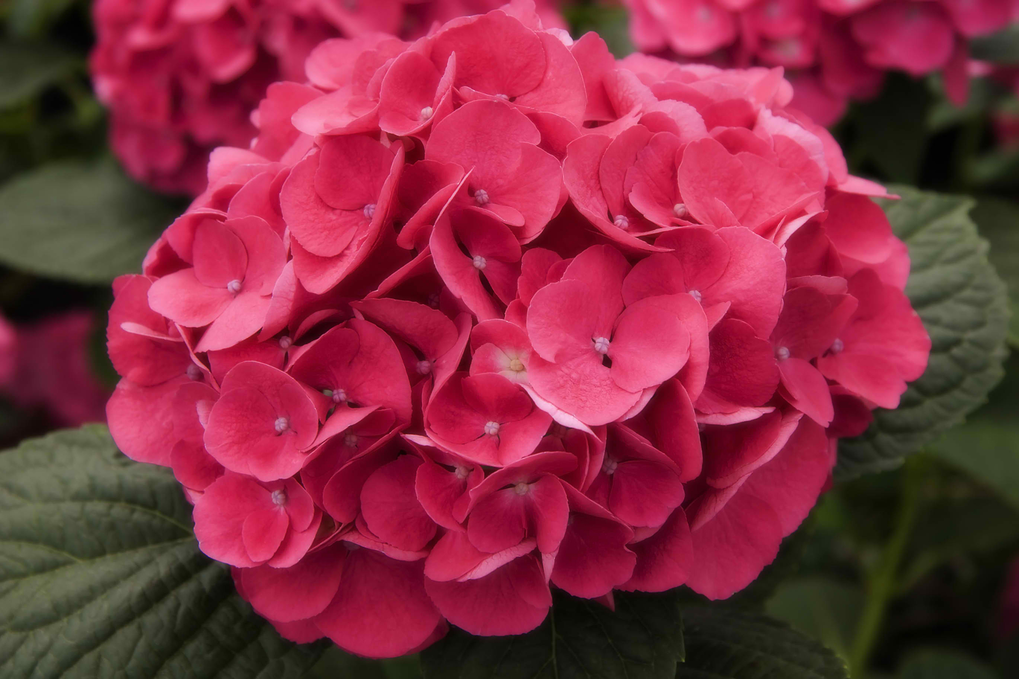 Hydrangea Poisoning in Cats