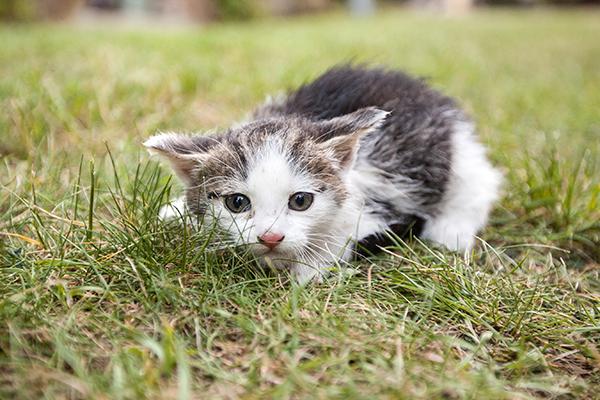 Hypokalemic Polymyopathy in Cats