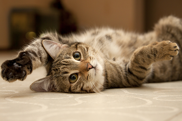 Idiopathic Epilepsy in Cats