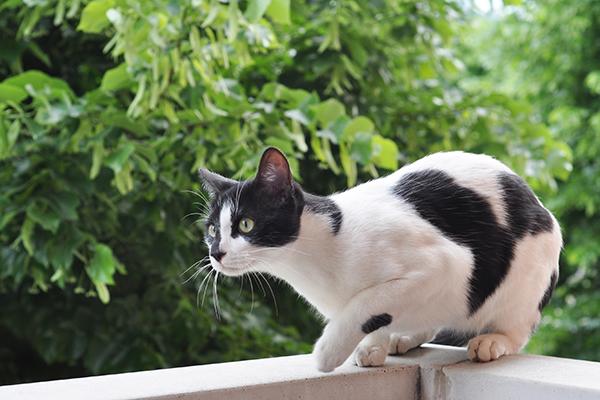 Immune-Mediated Hemolytic Anemia in Cats