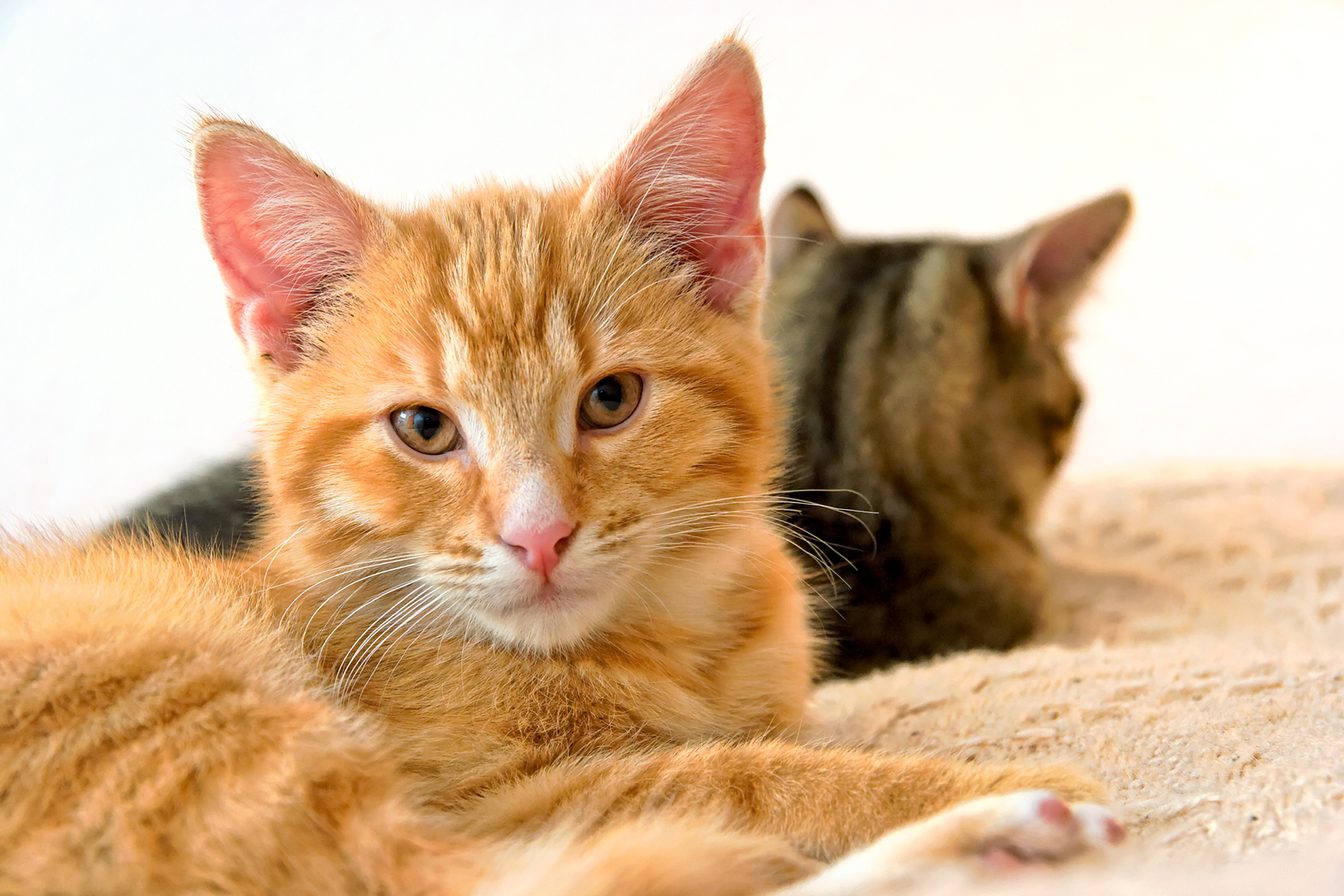 Immune System Tumors in Cats