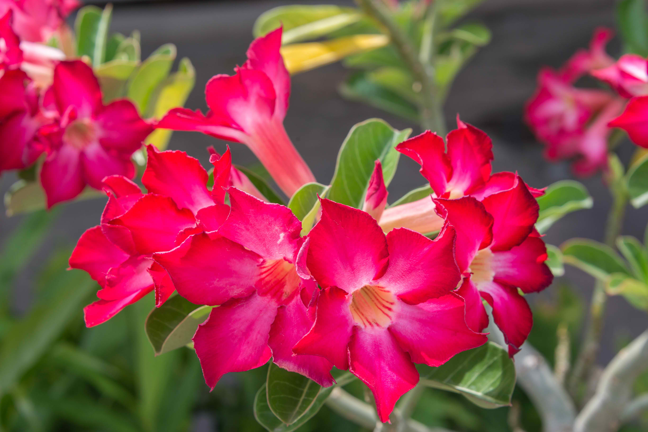 Impala Lily Poisoning in Cats