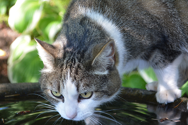 Increased Urination And Thirst in Cats