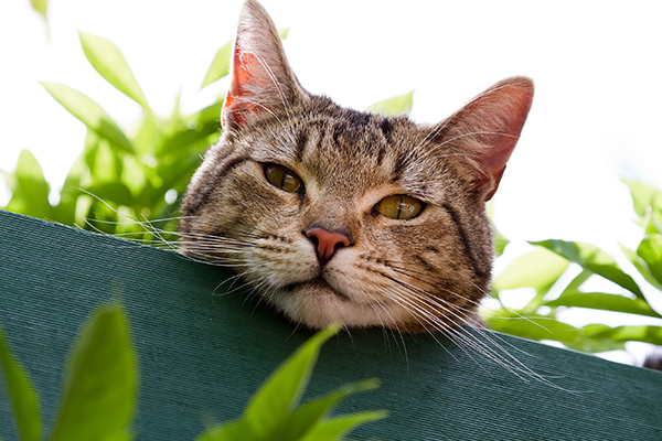 Infectious Anemia in Cats