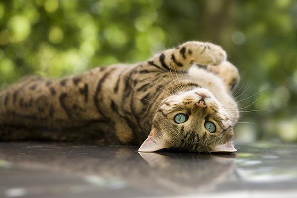 Inflammation of Veins in Cats