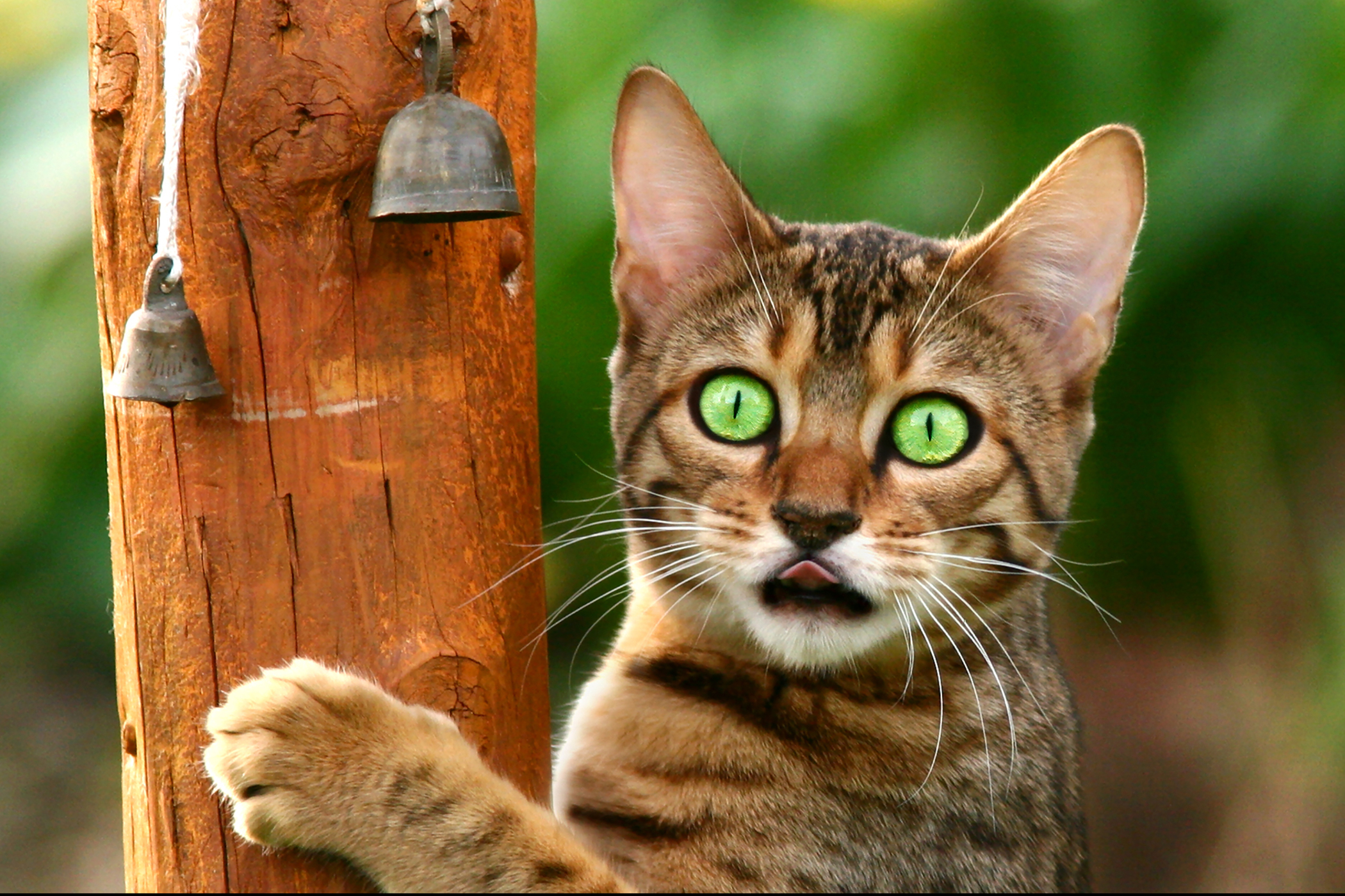 Inflammation of the Urethra in Cats