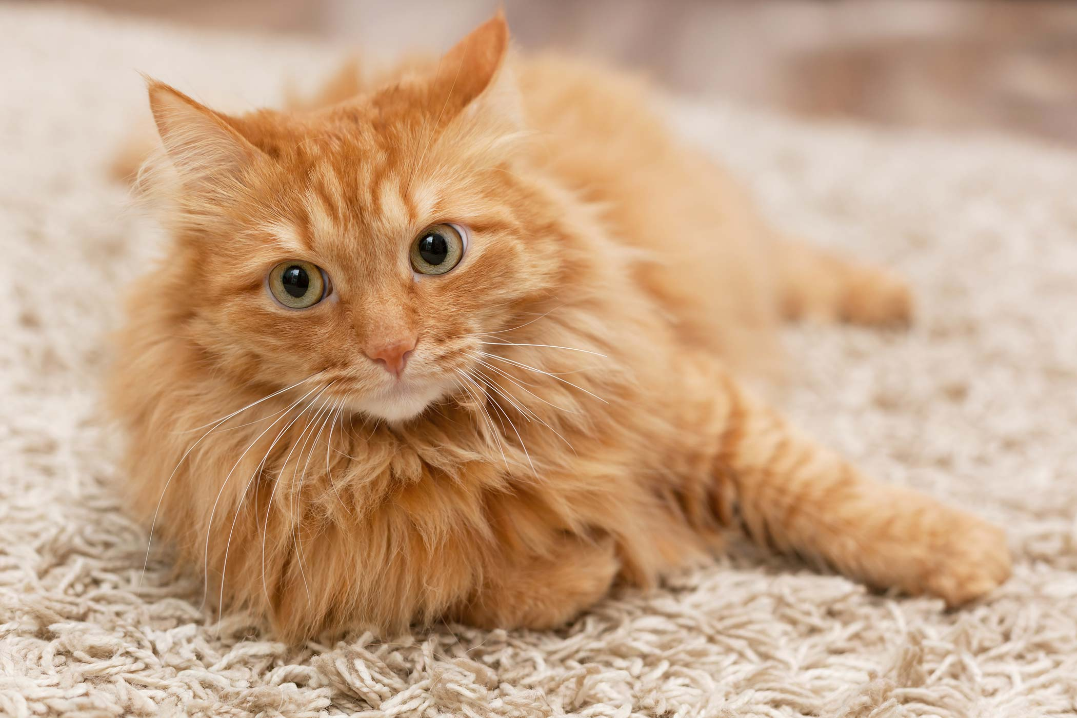 Inflammatory Muscle Diseases in Cats