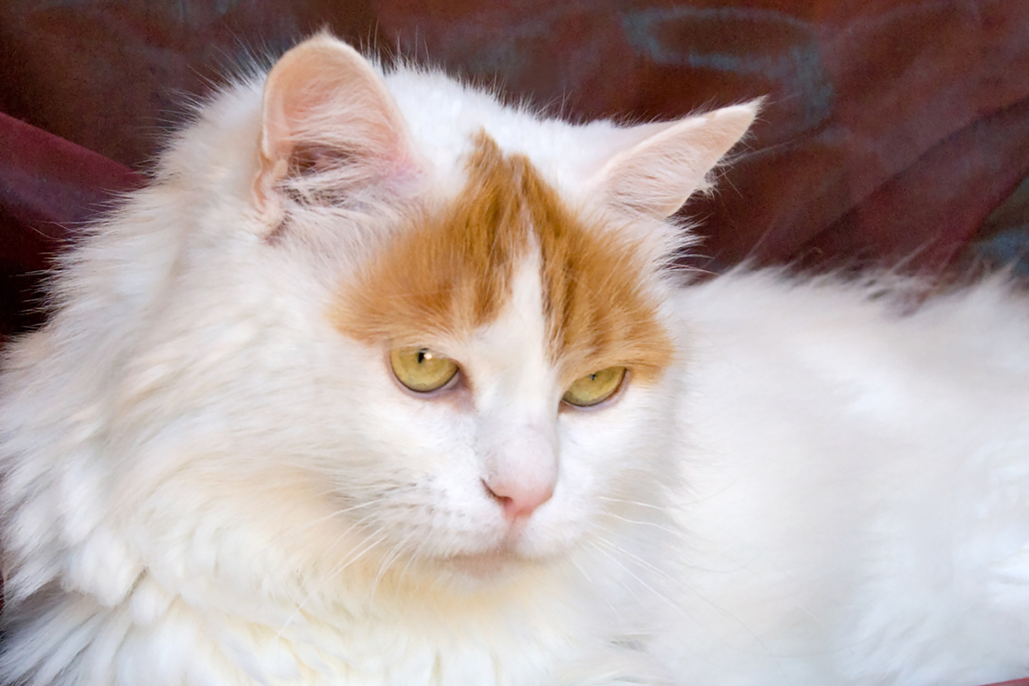 Inherited Corneal Disease in Cats
