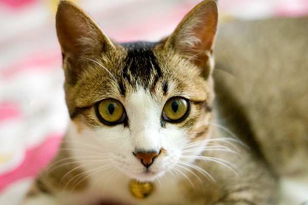 Inherited Skin Diseases in Cats