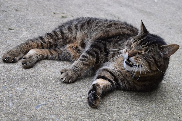Interstitial Pneumonia in Cats - Symptoms, Causes, Diagnosis, Treatment, Recovery, Management, Cost