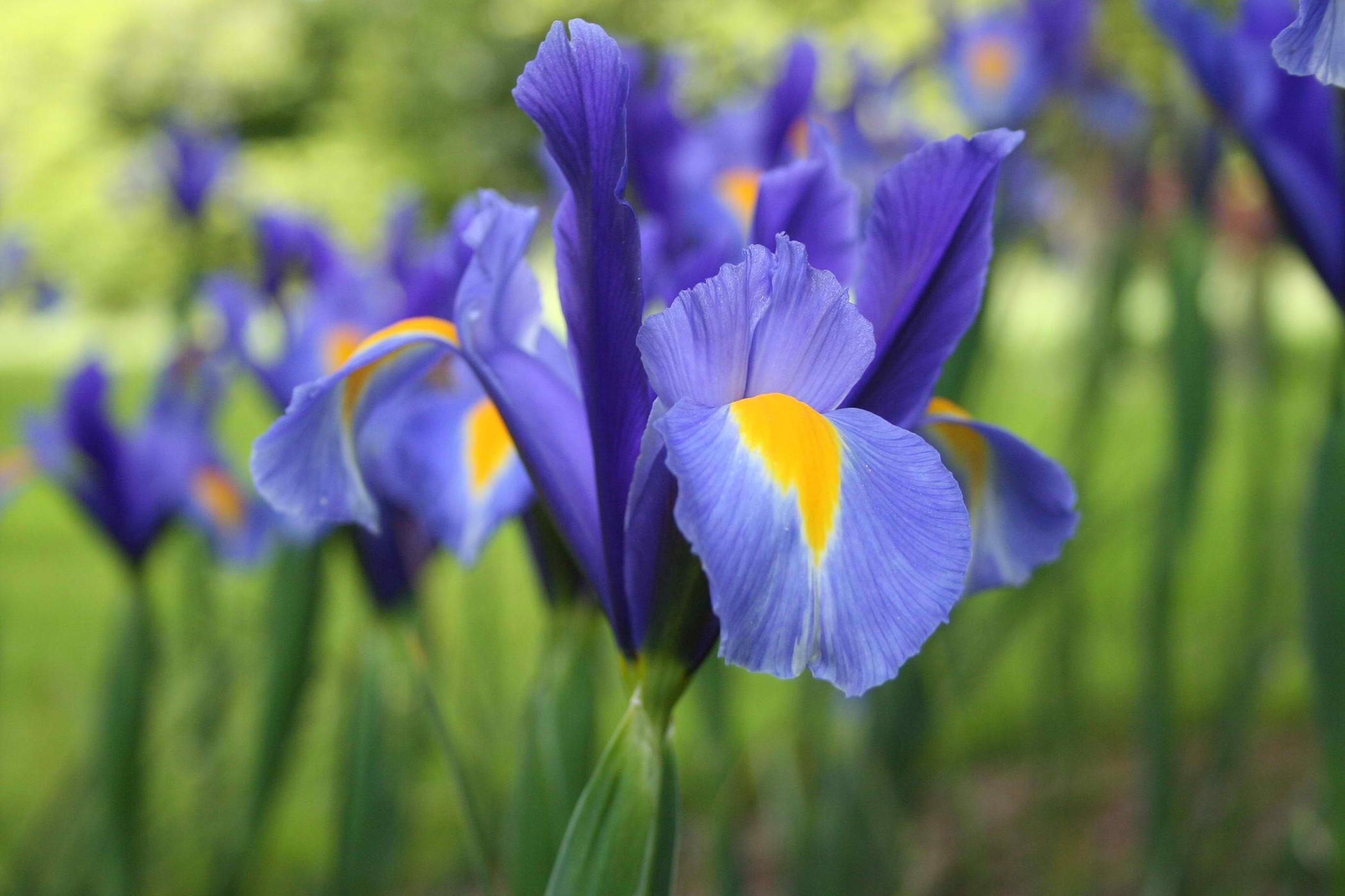 Iris Poisoning in Cats
