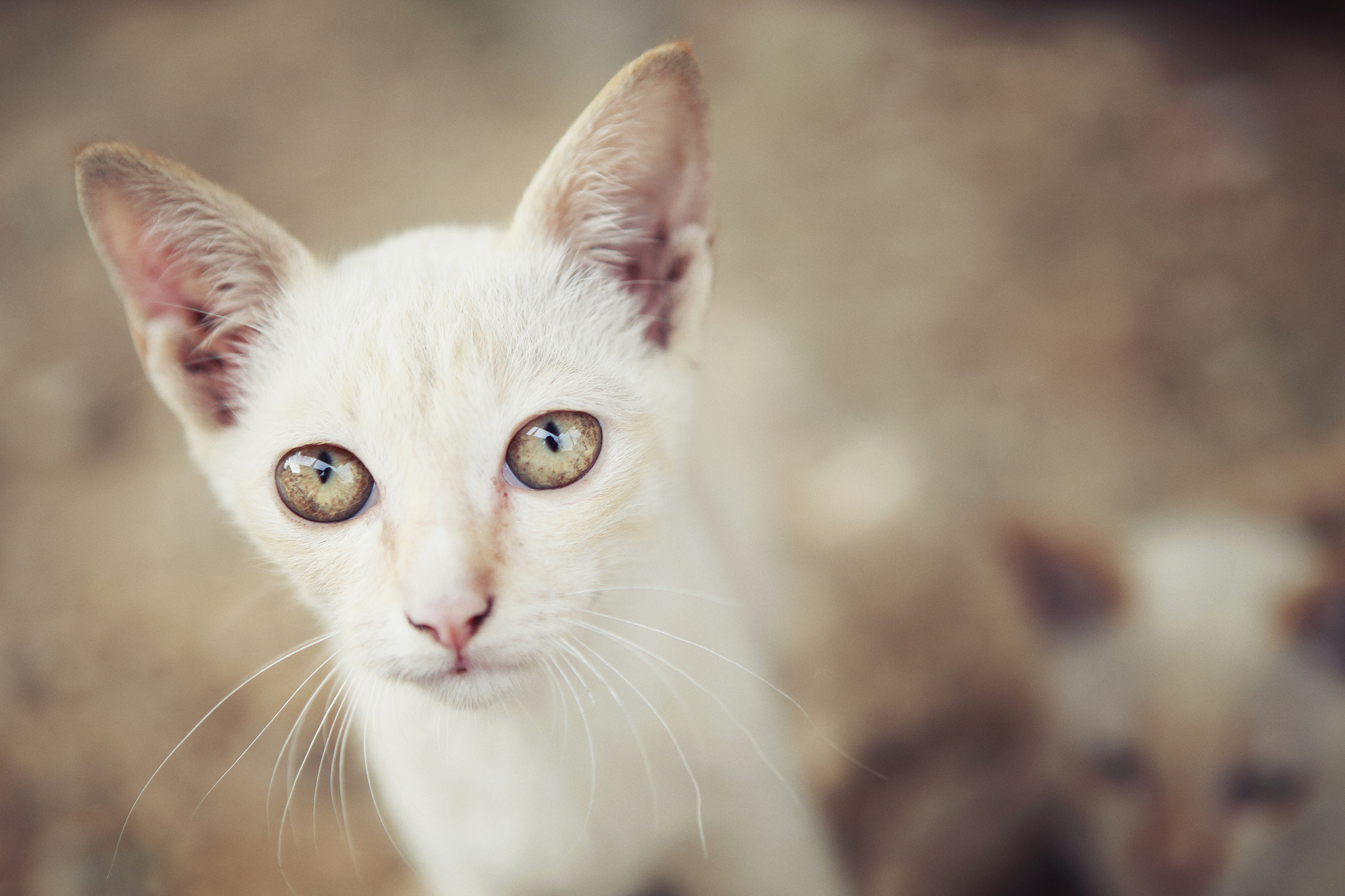 Kennel Cough in Cats