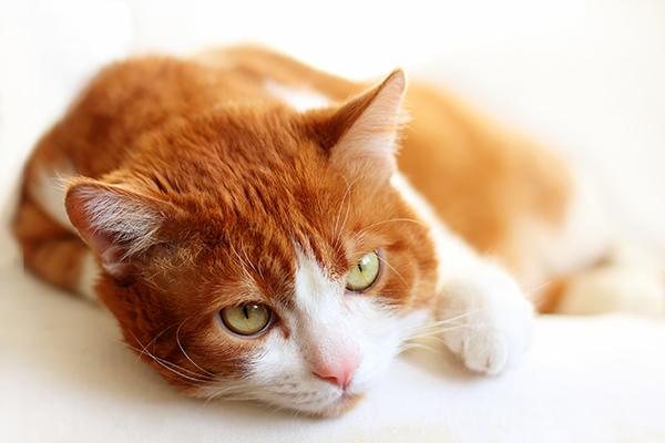 Kidney Enlargement in Cats